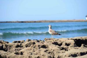Photo prise pour expliquer les travaux de la société Eoliennes en Mer Îles d'Yeu et de Noirmoutier sur le suivi des impacts potentiels du parc éolien sur les habitats marins des oiseaux